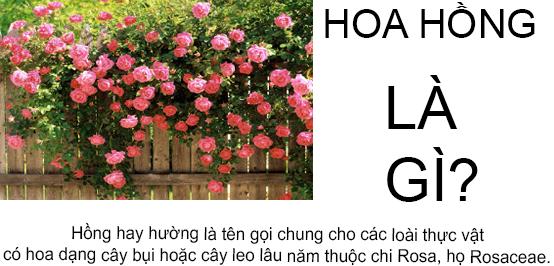 Hoa hồng là gì? Nguồn gốc của hoa hồng bắt đầu từ đâu?